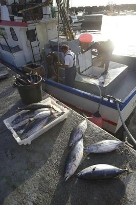 Tunfisch (Bonito), Fischerhafen Lajes de Pico, Insel Pico, Azoren, Portugal
