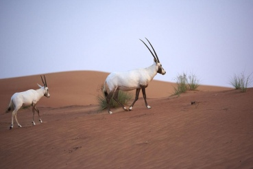 Desert Safari, Dubai, Vereinigte Arabische Emirate