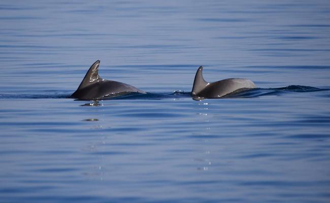 Delfin, Tuemmler, vor Porec, Istrien, Kroatien