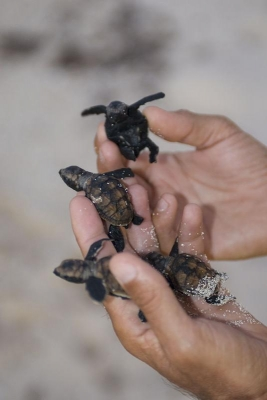 Wasserschildkroeten, Insel Nosy Iranja, Madagaskar