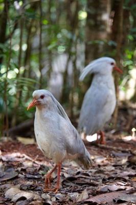 Kagu, Wahrzeichen Neukaledonien, Parc de la Riviere Bleue, Blue River Park, Grande Terre, Neukaledonien